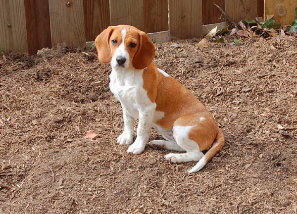 how to stop beagles from digging holes